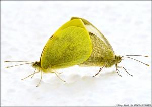 Fjärilar 080316