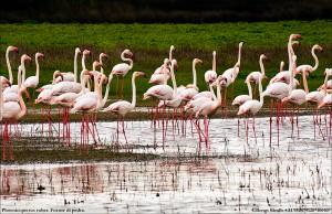 Flamingo 100407