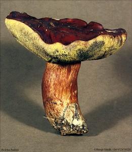 Xerocomus badius