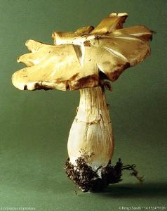 Cortinarius triumphans