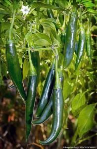 Grön Thai Chili