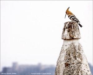 Härfågel 150404