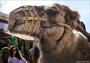 Kamel 150431