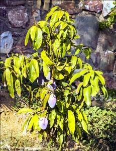 Mangoträd 160912