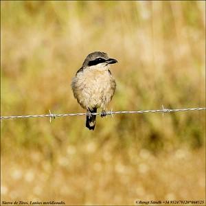 Varfågel