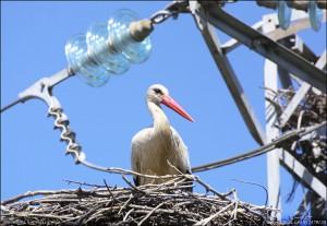 Vit stork 2